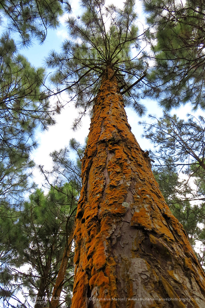 Bright orange lichen on a pine tree