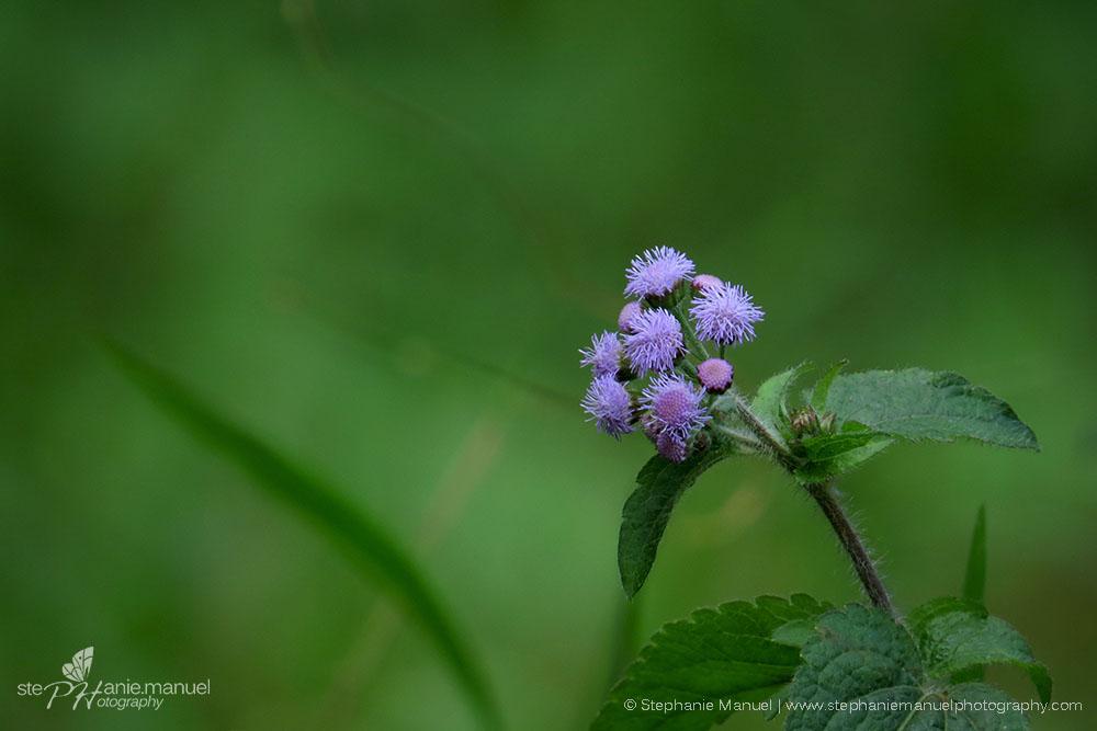 Blue mistflower Bois Cherie