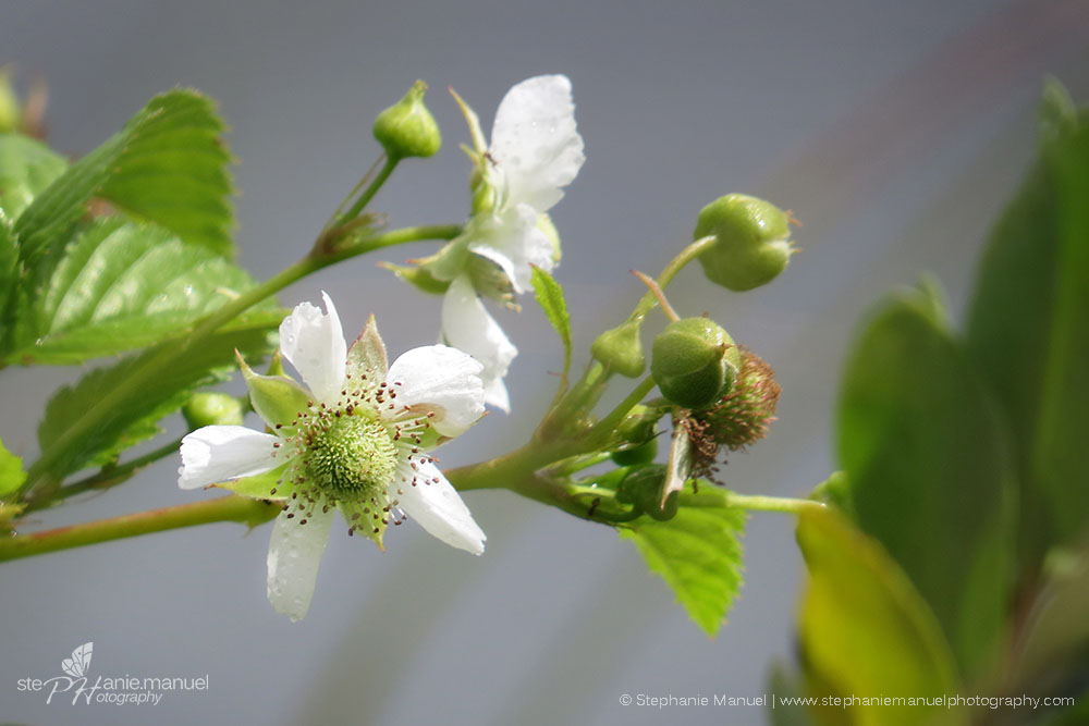 West Indian raspberry flower