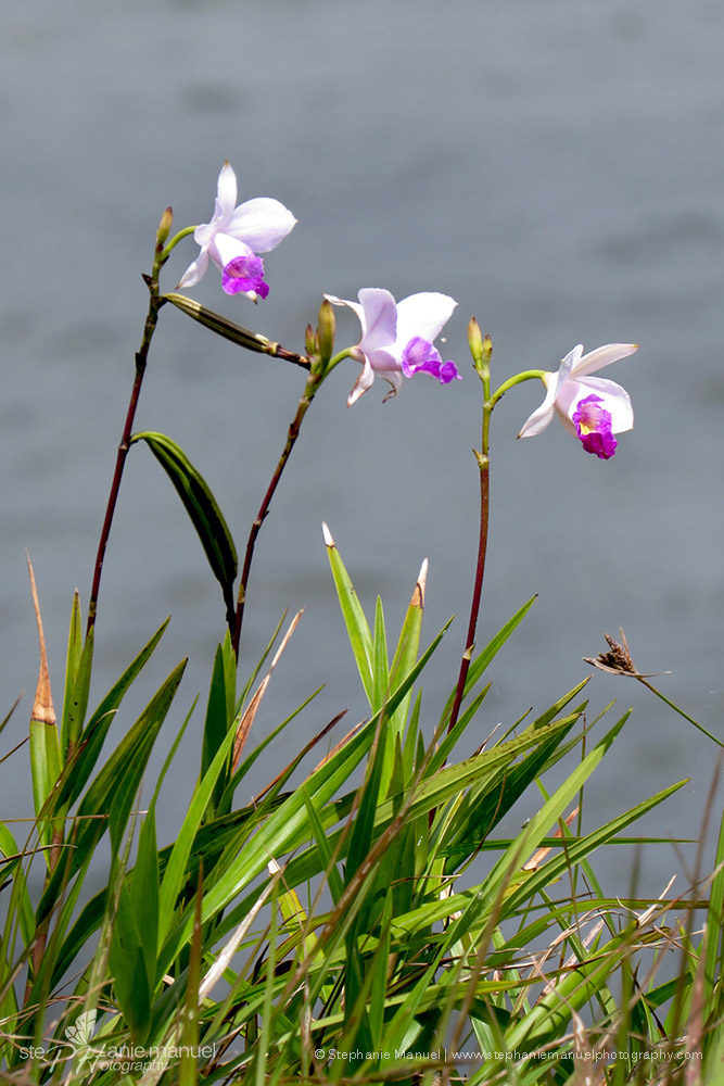 Trio of Bamboo orchids