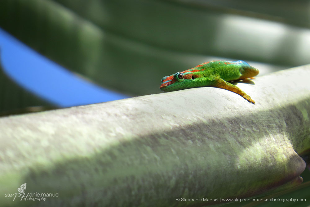 A day gecko basking on the traveller's tree (Ravenala madagascariensis)
