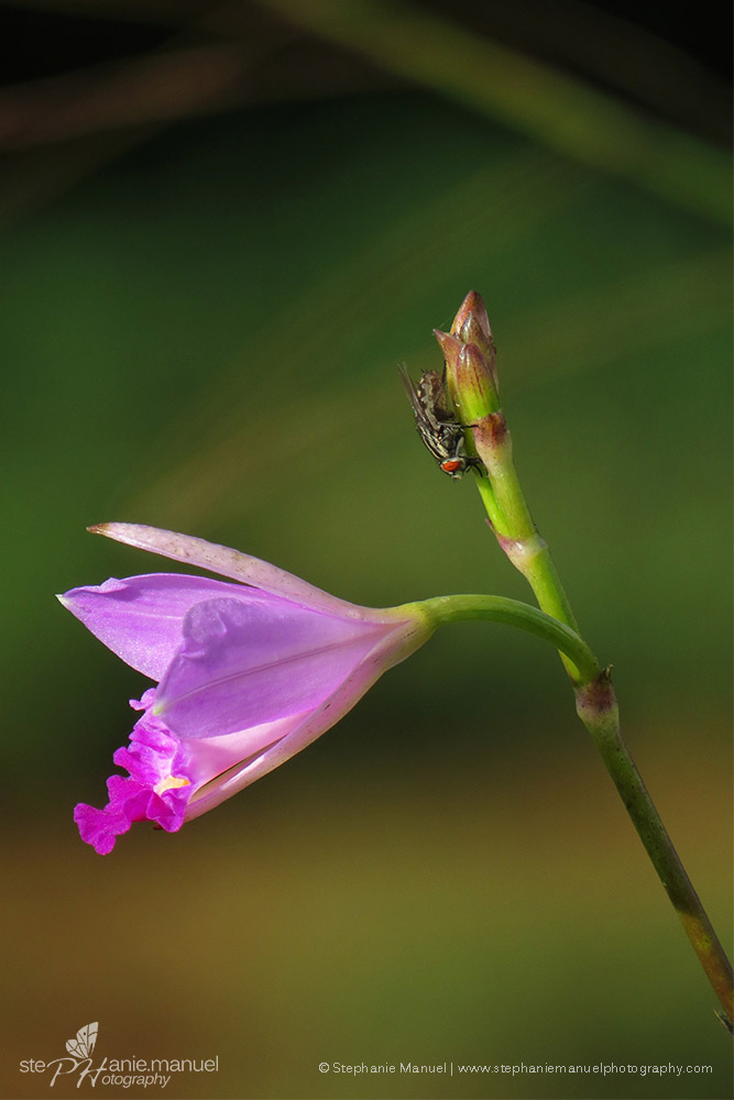 Bamboo orchids (Arundina graminifolia)
