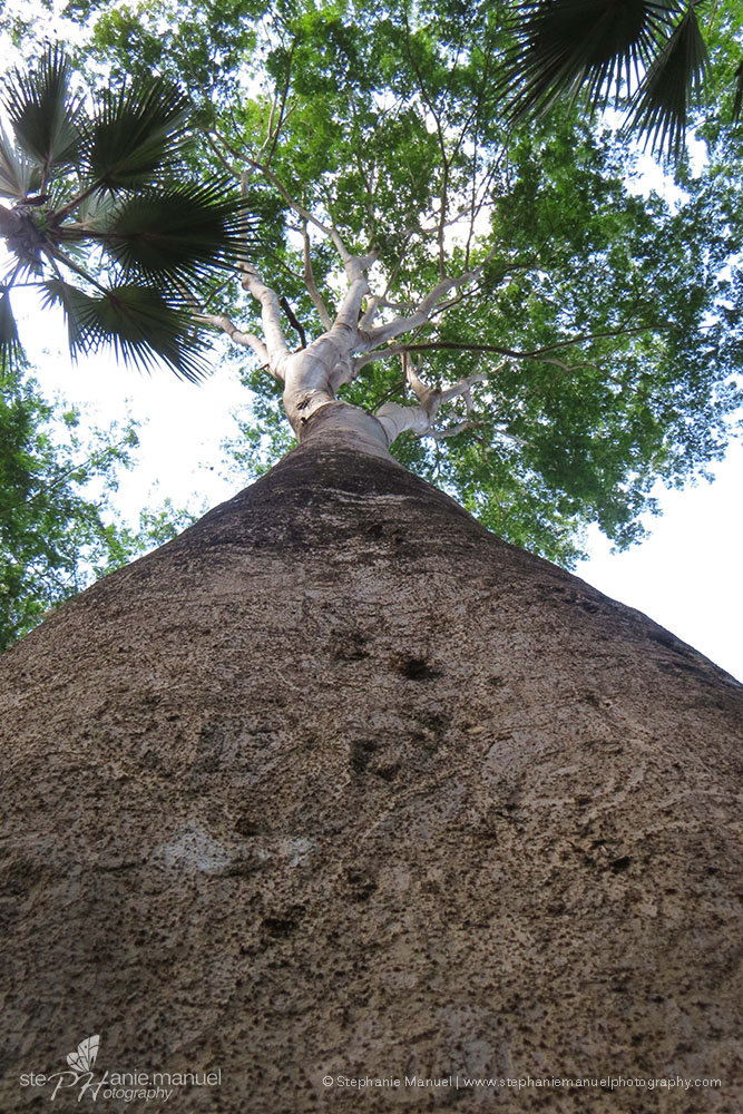Looking up at the tree chosen by the fruit bats