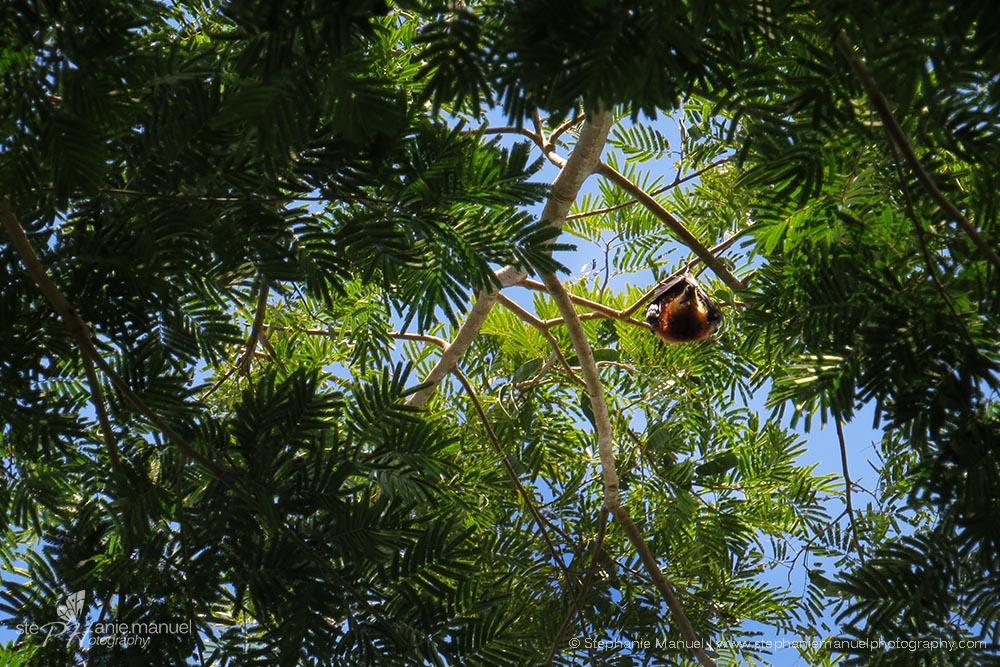 Fruit bat spotting through the leaves