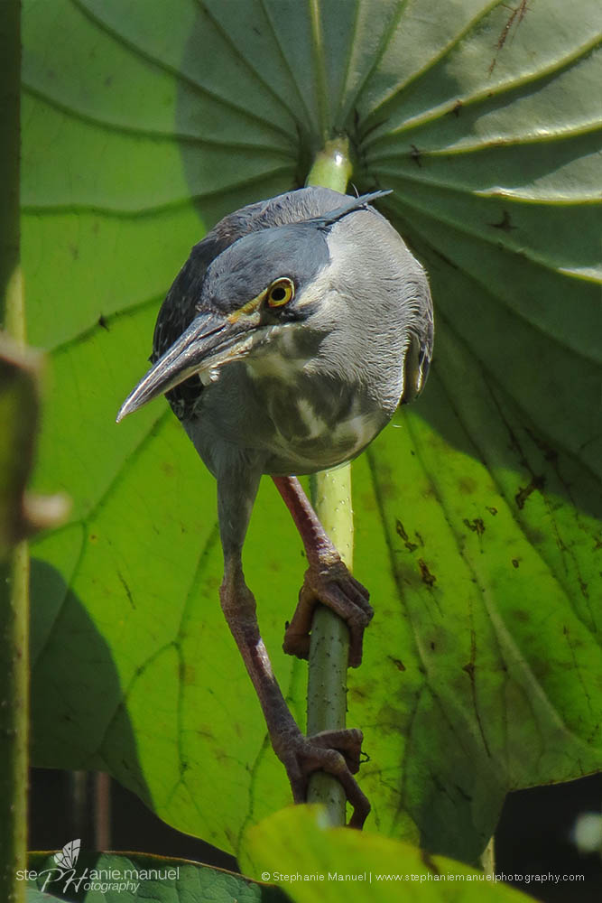 The Green-backed Heron