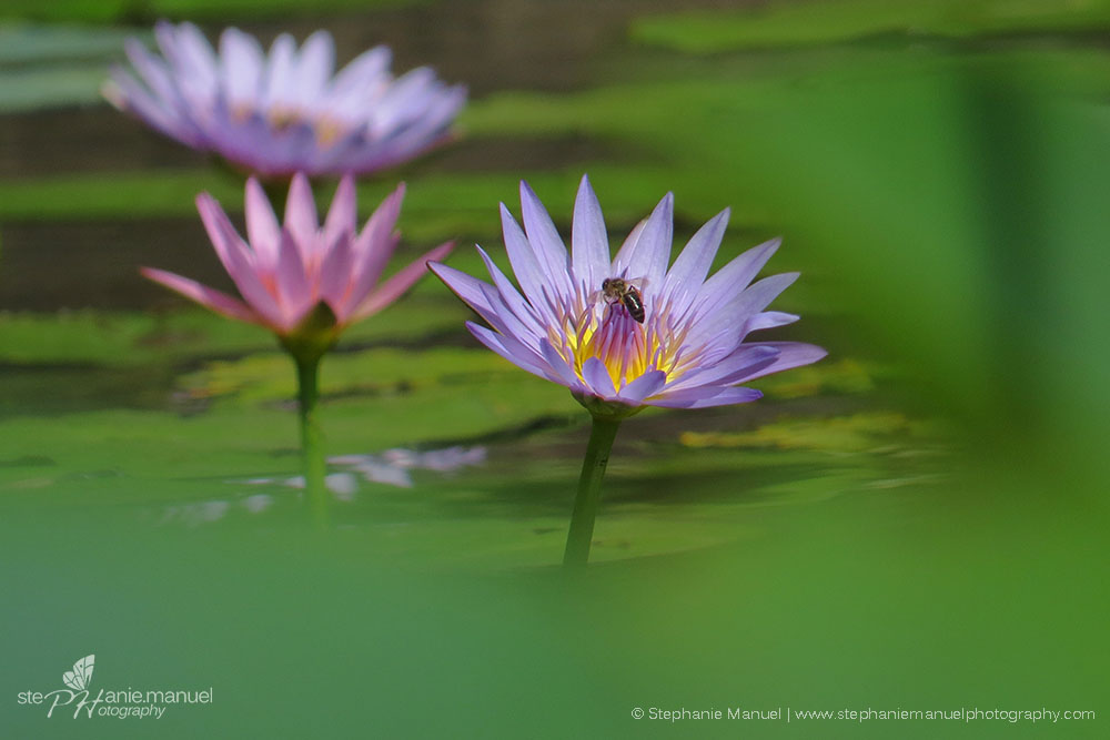 Bee visiting the stunning lotus flowers