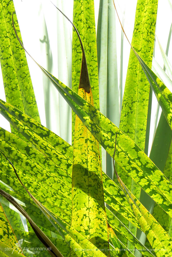Vacoas leaves