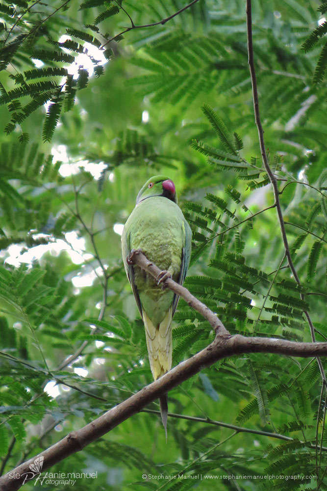 Ring-necked Parakeet in a green mood