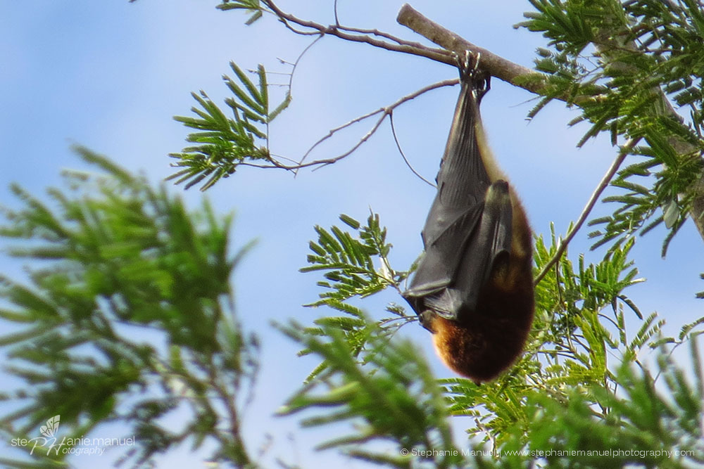 Fruit bat blowing in the wind