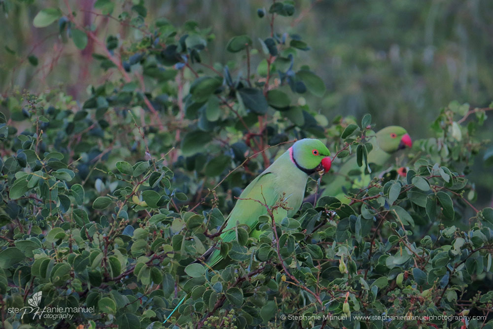 Ring-neck Parakeets