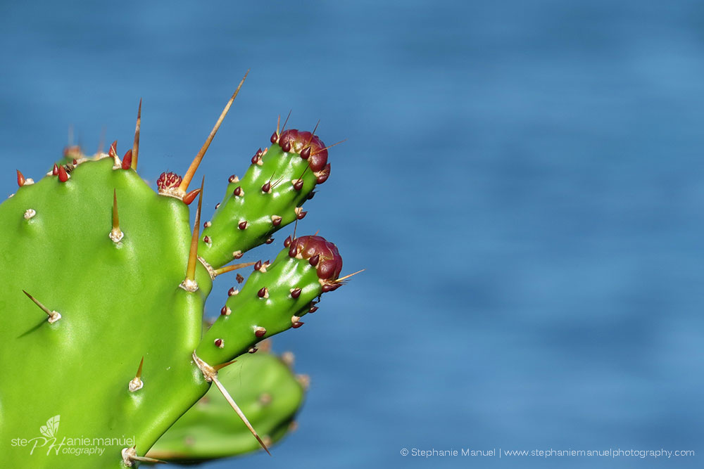 Buds of the prickly pears
