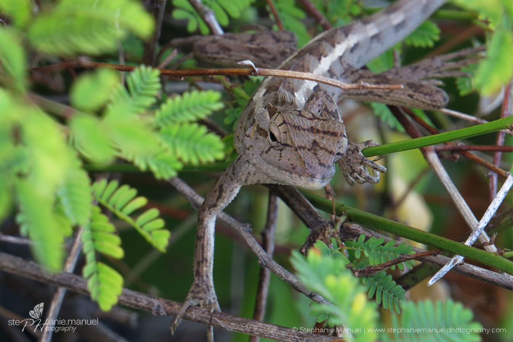 A chameleon trying to hide in the bush