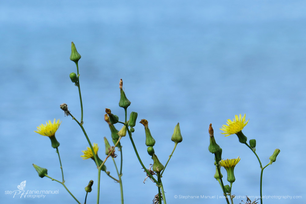 Spiny sow thistle (Sonchus asper) yellow flowers