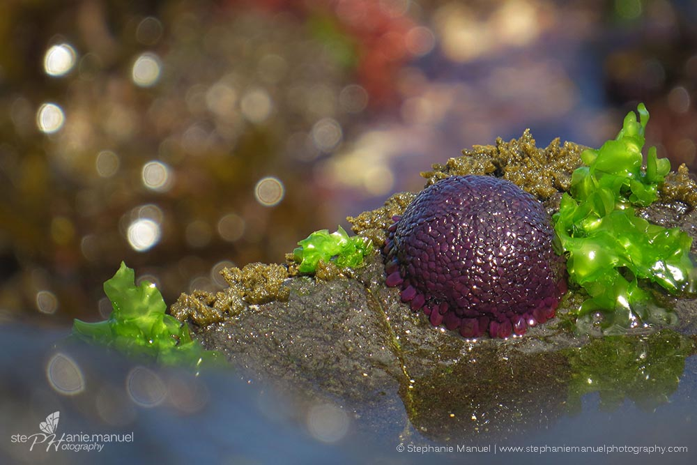 Gorgeous purple shingle urchin