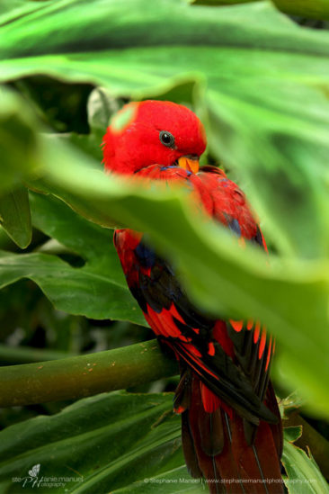 Stunning Red Lory (Eos borneo) framed by tropical green leaves