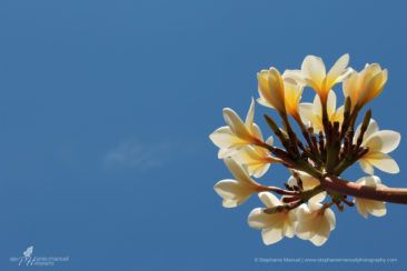 Bright plumeria flowers and clear blue sky