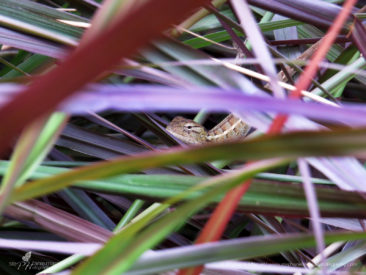 The tropical little dragon framed by purple leaves