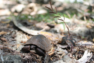 First steps of baby tortoise