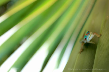 The friendly gecko on fan-shape leaf of the blue Latanier plant, endemic species, Mauritius