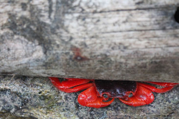 Gorgeous red crab by the jetty