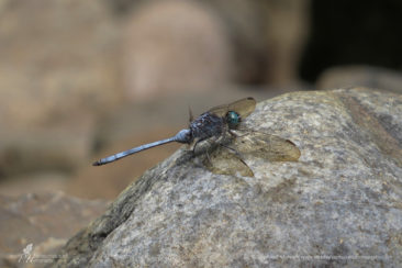 Blue dragonfly in the Gorges National Park