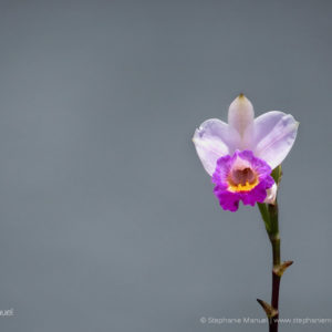 Bamboo orchid Mauritius