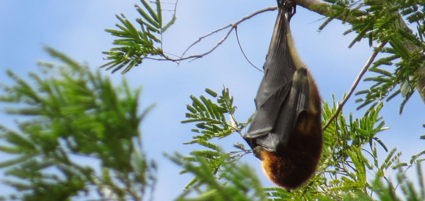 Fruit bat blowing in the wind