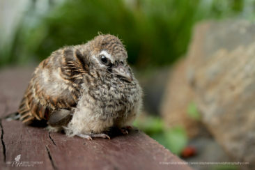 Sweet juvenile turtle dove