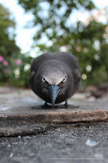 The Common Noddy aka angry bird