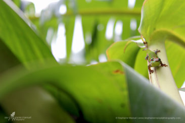 Endemic gecko on a banana tree, Mauritius
