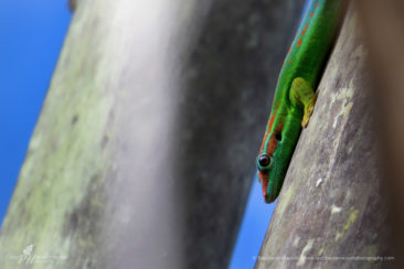 Gecko pose on a Ravenala tree