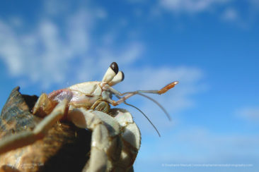 The sky is not the limit for the hermit crab