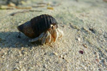 Hermit crab at sunset