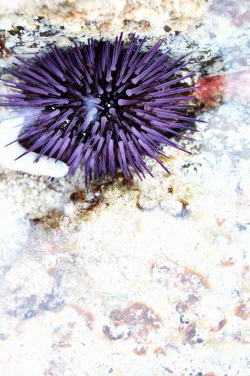 Stunning light revealing the purple spines of the sea urchin