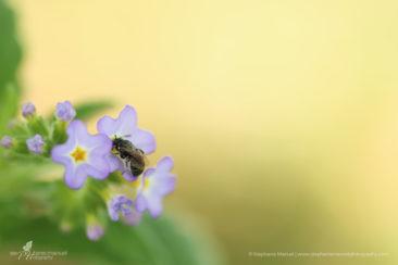 Bee in purple flowers