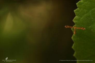 Orange plume moth