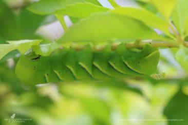 SMP-microcosm-butterflies-17