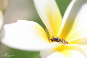 Hoverfly exploring the plumeria flower